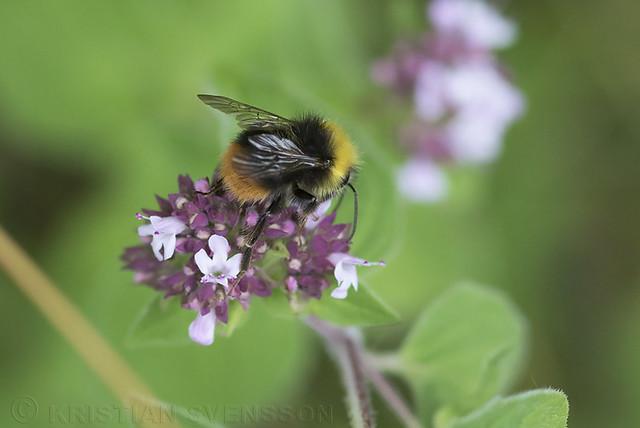 Early Bumblebee (Bombus pratorum)