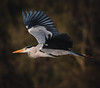 Grey Heron in flight 12/1/20
