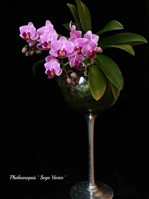 Phalaenopsis ' Sogo Vivien '