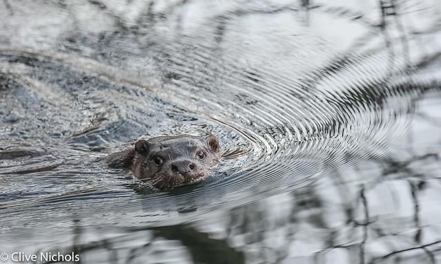 Otter.-1-2