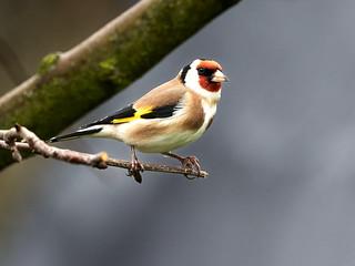 Stieglitz  -  Goldfinch
