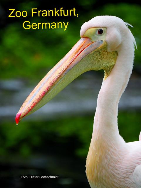 Pelikan - Zoo Frankfurt am Main, Germany