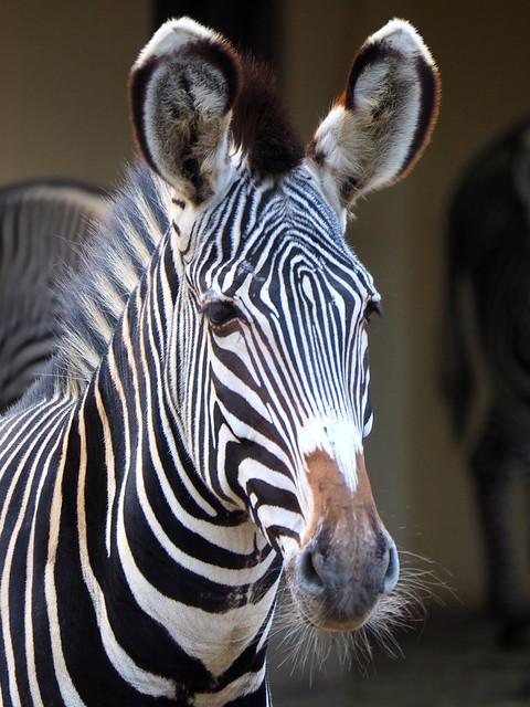 Zebra in the Zoo Frankfurt, Germany