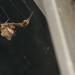 Uloborus plumipes