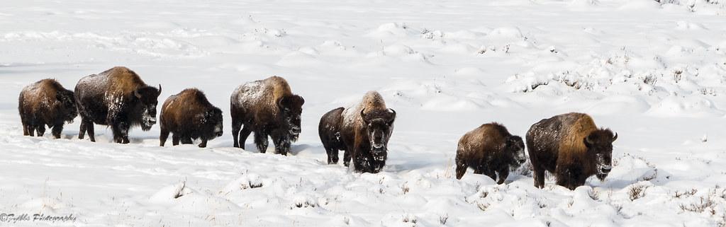 Bison Band walking thru the snow
