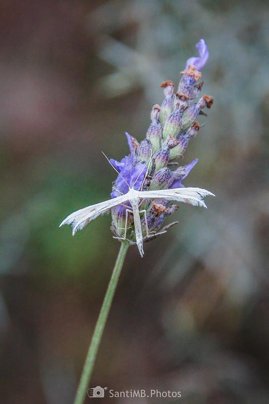 Polilla penacho sobre flores de espliego en la Serra de la Mussara