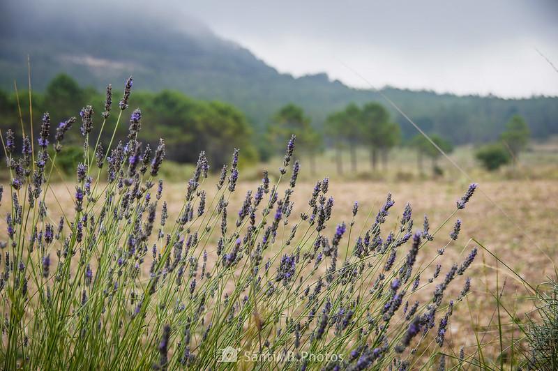 Espliego en los Llanos de la Mussara