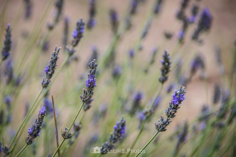 Flores de espliego en la Mussara