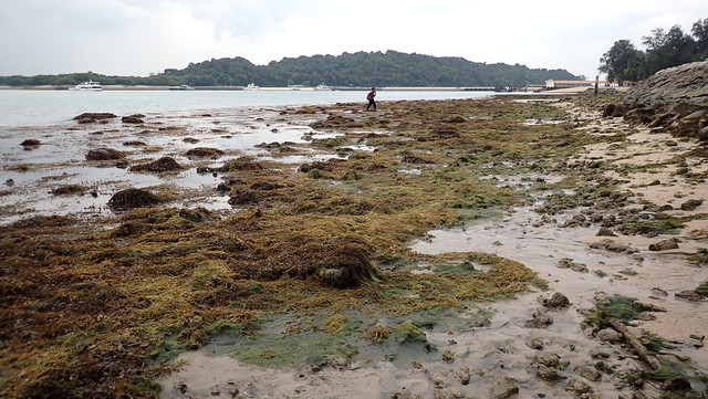 Bloom of Sargassum, Bryopsis and Chaetomorpha
