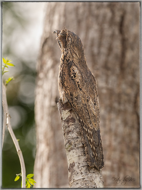 Common Potoo (Nyctibius griseusi)_FBM3925