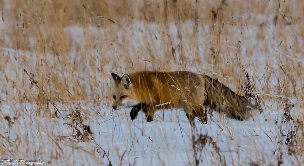 Red Fox around Pebble Creek