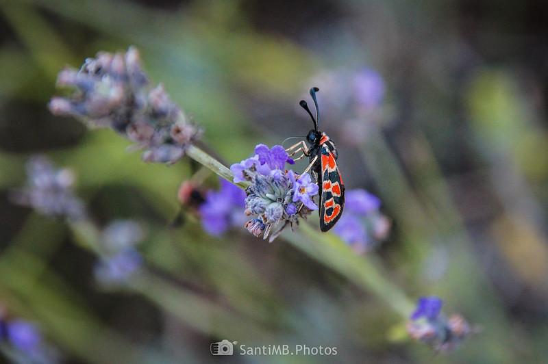 Ejemplar de Zygaena carniolica libando en flores de espliego en la Serra de la Mussara