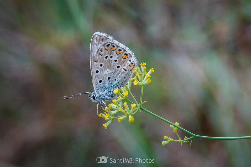 Macho de mariposa ícaro en la Serra d'en Garcia