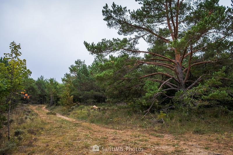 Camino junto a un pino rojo en los Plans del Panxó