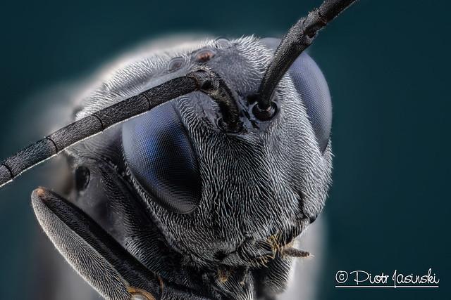 Blue eyed black wasp - Evaniidae