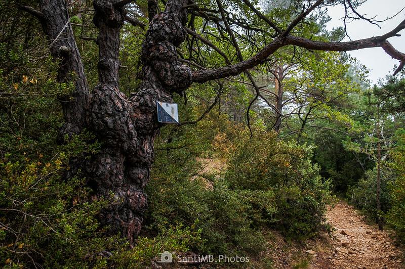Extraño pino en el Bosc de l'Agustenc