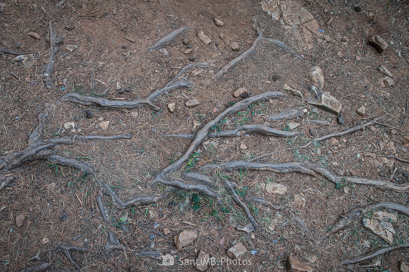 Raíces de pinos en el camino a los Avencs de la Febró