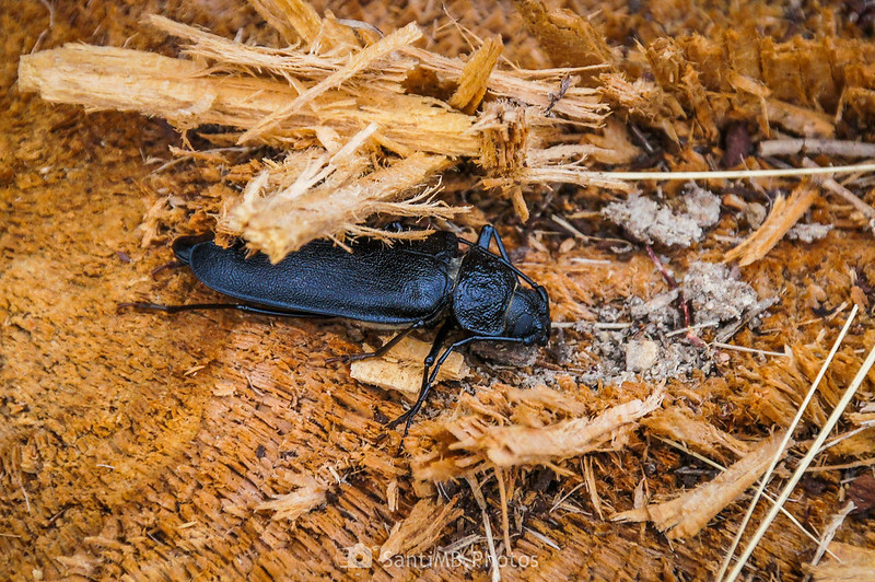 Hembra de escarabajo carpintero en la Mussara