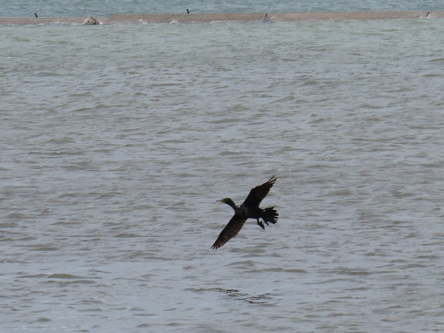 Double-crested Cormorant by SpeedyJR