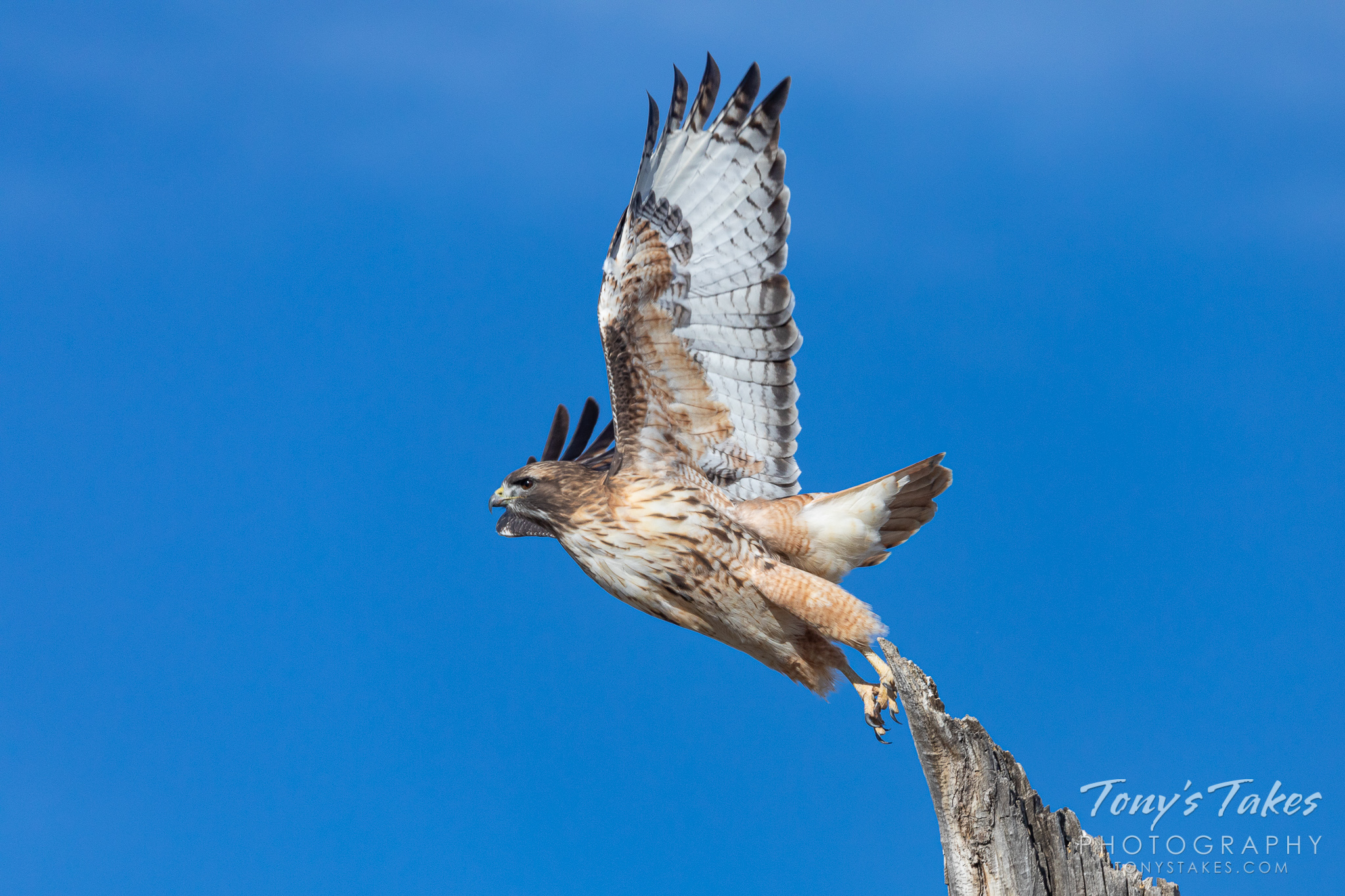 A red tailed hawk launches into the air in Thornton, Colorado. (© Tony's Takes)