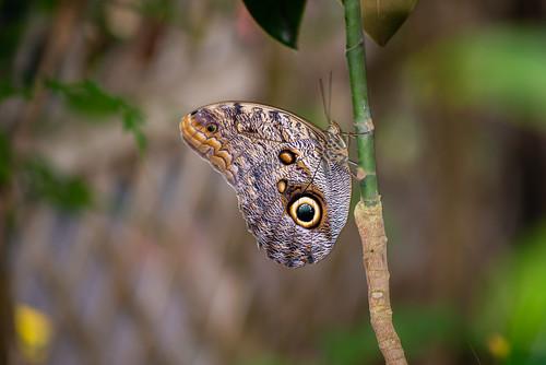 Giant Owl Butterfly (Caligo eurilochus) Close-up