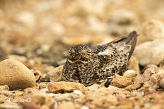 Querebebé, Antillean Nighthawk (Chordeiles gundlachii)