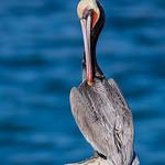 Brown Pelican ♂