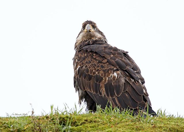 Immature Bald Eagle  (full frame) (in Explore 13/01/2020)