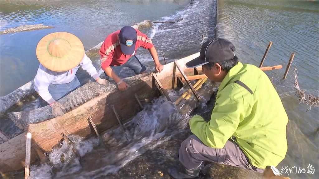 九河局和村民合作搭建簡易魚梯,讓鱉溪的魚兒,有機會上溯洄游。
