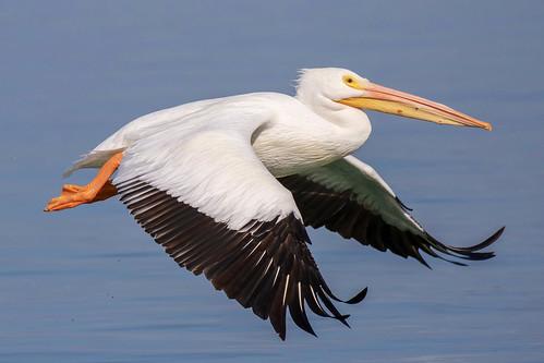 outdoor seaside dennis adair shore sea sky water nature wildlife 7dm2 7d ii ef100400mm ocean canon florida bird flight bif pelican