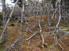 Old and wizened - Chance Cove trail