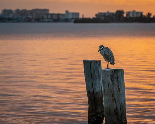 dunedin florida pinellascounty heron yellowcrownednightheron sunset sony sonyalpha sonya7iii sonyalpha7iii a7iii canonef70200mmf28lisiiiusm canonef70200mm mirrorless birdwatching bird
