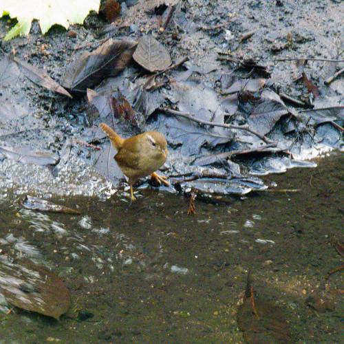 Wren hunting, Smestow shore