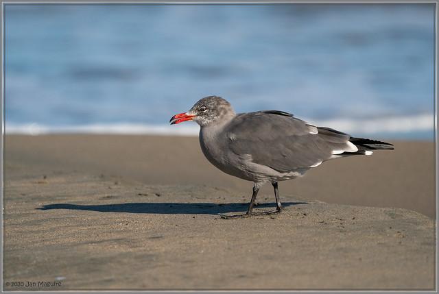 Heermann's Gull 4821