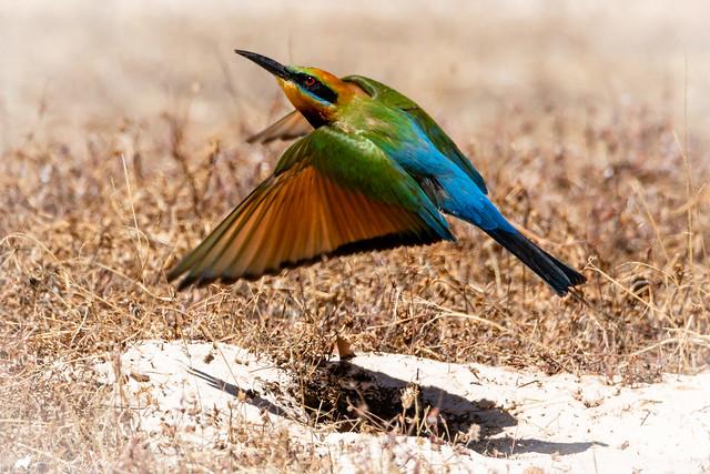 Rainbow Bee Eater leaving nest (burrow in the sand)
