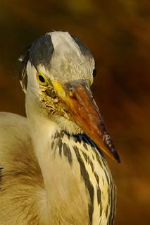 DSC09697 - Grey Heron