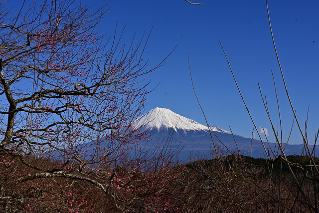 Ume Blossom , Iwamoto Mountain Park