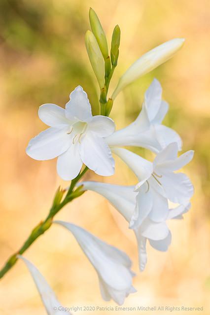 White Watsonia (II), 5.28.19