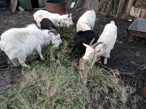 goats eating bamboo Jan 20