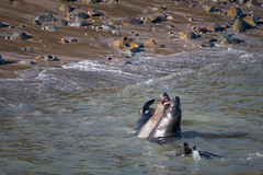 Elephant seals playing - Point Reyes  (由  Valérie C