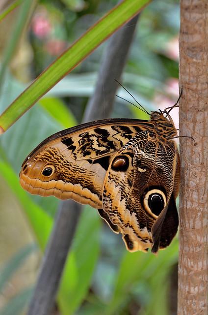 Orléans (Loiret) - Parc floral de la Source - Serre aux papillons - Morpho (explore 13-01-20)