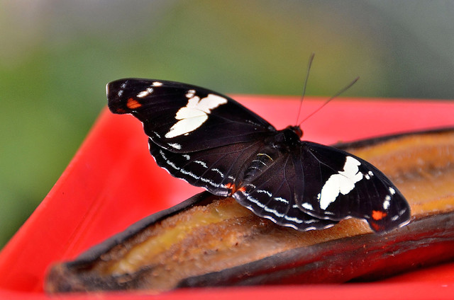 Orléans (Loiret) - Parc floral de la Source - Serre aux papillons (explore 13-01-20)