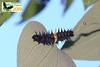 Ornithoptera goliath larva