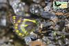Delias geraldina vogelcopensis