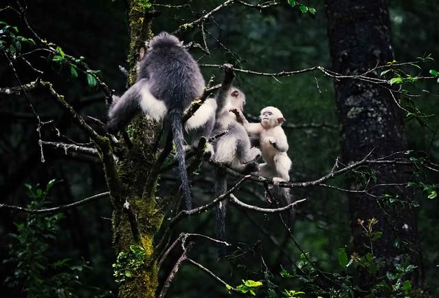 Black Snub-nosed Monkeys