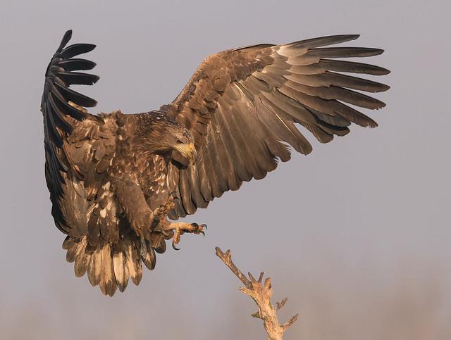 Zeearend, White-tailed Eagle