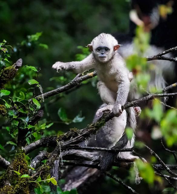 Yunnan Black Snub-nosed Monkey
