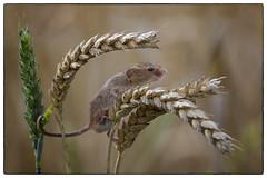 Harvest Mouse - a re-edit