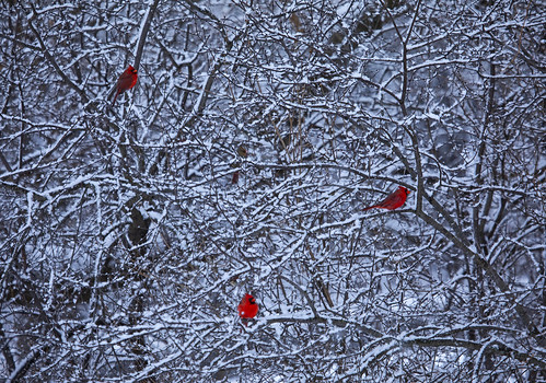 snow snowy winter cold chilly bird birds birding life nature red cardinal cardinals winterwonderland beautiful idyllic outdoors landscape canon 2019 peaceful home skaneateles