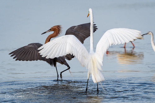 dingdarlingnwr sanibel2019 reddishegret greategret egret bird wadingbird avian nature wildlife animal nikon d500